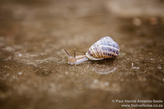 A snail in a puddle at the Theatre Antique d'Orange, Provence, France