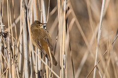 Australian Reed-warbler (RoosterMan64) Tags: bird nature wildlife australianreedwarbler