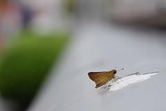 (Yorozuna / ) Tags: brown japan butterfly bug insect tokyo skipper            parnaraguttata   shinjukuward     wakamatsukawada  pentaxautotakumar55mmf18  thestraitswift