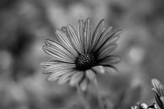 flower (Baciys) Tags: white black flower macro nikon f18 d3200