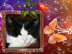Charles Framed With Rose And Butterfly 003 (Chrisser) Tags: cats ontario canada nature animal animals cat ourcatcompanions crazyaboutcats kissablekat kissablekats bestofcats kissablekitties kissablekitty canoneosrebelt1i bicolouredshorthaired canonef75300mmf456iiiusmlens