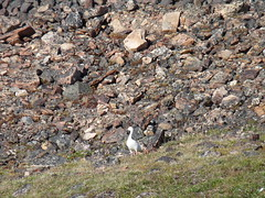snow goose, Tay Bay, Bylot Island (Ward & Karen) Tags: arctic bylotisland