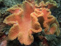 Toadstool Coral (Sarcophyton sp.) (Jlynott) Tags: koh tao kohtaodiving kohtaoscuba goodtimeadventures