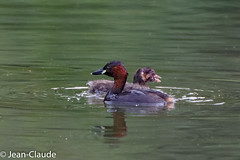 Pociceps ruficollis - Little Grebe (bollejeanclaude) Tags: nature birds belgique photos vogels be tervuren oiseaux dodaars grbes palmipdes vlaamsgewest