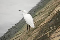 DSC03452 (rickytanghkg) Tags: bird animal hongkong sony aves egret a550 taipocentre sonya550