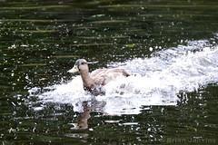 Mallard (Bri_J) Tags: duck nikon yorkshire landing mallard splash statelyhome nationaltrust anasplatyrhynchos nostellpriory d3200