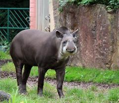tapir terrestre (eminorah) Tags: nature zoo animaux nez sourire rigole regard museau sarrebrck zoodesarrebruck