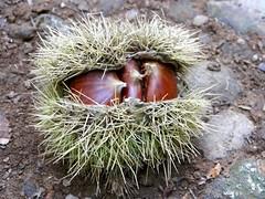 101_3151 (Cassiopée2010) Tags: nature fruit marron chataigne cévennes bogue