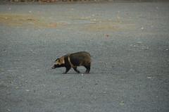 DSC_1511 (My many travels) Tags: japan tokyo shrine shibuya tanuki   raccoon  shinto meiji jingu