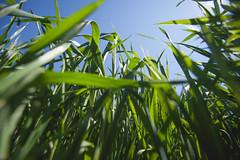 Trigal (Fotgrafo - Comunicador Audiovisual) Tags: green field plantas cereal paisaje campo cereales pais vegetal trigo plantacion cultivo trigal