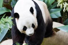 Cute Cuddly (saish746) Tags: china california bear white black cute green nature animal canon giant mammal zoo is log panda fuzzy outdoor centre conservation national malaysia kualalumpur usm kl xing pandas negara ef70200mm f4l