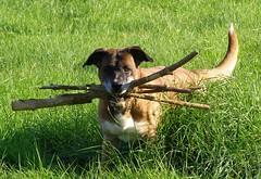863qa  Rocky  R.I.P (anchorphotos) Tags: dog rip rocky