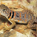 Eastern Collared Lizard, Juvenile