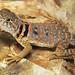 Eastern Collared Lizard, Juvenile