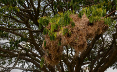 Metallic Starling (Aplonis metallica) nests (Mattsummerville) Tags: bird nest cairns metallicastarling