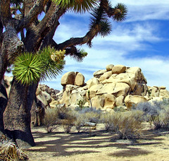 One of the Ancients, Joshua Tree NP 2013 (inkknife_2000 (7 million views +)) Tags: california cactus usa landscapes rocks desert joshuatree skyandclouds nationalparks rockclimbing joshuatreenationalpark rockpiles joshuatreeblooms dgrahamphoto