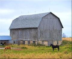 Weathered Barn, Sturdy Horses (newagecrap) Tags: autumn horses horse wisconsin barn rural nikon farming rustic barns scenic farms scenes farmbuilding horsefarm nikond3200 horsestables farmscenes badgerstate clarkcounty ruralwisconsin wisconsinfarm centralwisconsin barnwisconsin wisconsinbarns wisconsinbarn scenicfarm loyalwisconsin scenicbarn beaverwisconsin barnpicture rusticwisconsin barnphoto newagecrapphotography clarkcountywisconsin october2015 fall2015 topazimpression barnswisconsin scenesfarm