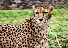 catherinesmith_18_zoo (catherineLsmith) Tags: columbus ohio grass fence zoo unitedstates fast cheetah pacing