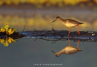 Common  red Shank