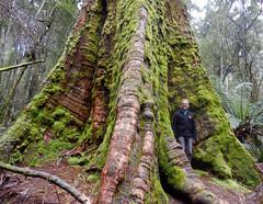 Ancient growth (LeelooDallas) Tags: australia tasmania giant tree woods forest landscape dana iwachow nikon coolpix s9100
