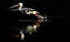 LakeChabot_123116_055 (kwongphotography) Tags: lakechabot castrovalley birds calif americanwhitepelican pelican wildlifephotography nature naturephotography wildlife birdsinflight unitedstates
