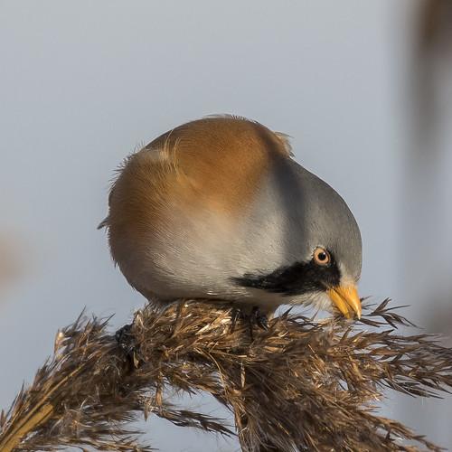 (048) Bird - Bearded Tit (Reedling) - Oulton Marshes