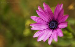 The Pink & The Blue (Sukiraman Manivannan) Tags: flower petals pink blue pollen