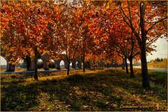 Via Dei Condotti (leon.calmo) Tags: leoncalmo canon eos50d alberi archi acquedotto campagna ascianopisano pisa autunno foglierosse