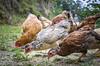 Chicken - Luiz Alves/SC - Brasil (Gilberto Russo) Tags: chicken galinha floor chao luizalves brasil sc santacatarina corn milho farm fazenda