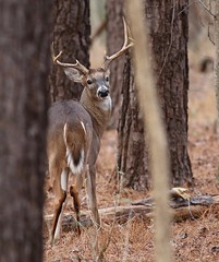 Whitetail Buck (Mary Sonis) Tags: