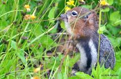 DSC_0705 (rachidH) Tags: squirrel écureuil rodents goldenmantledgroundsquirrel spermophiluslateralis callospermophiluslateralis spermophileàmanteaudoré écureuilterrestreàmanteaudoré spermophileàmanterayée logan pass loganpass westglaciernationalpark montana rockymountains mt rachidh nature