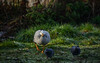 Bar-headed goose (PChamaeleoMH) Tags: barheadedgeese centrallondon london pigeons stjamesspark