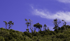 Larches up to the sky (OrlandoMunozJr) Tags: trees nature sky clouds larches larch leaves green blue white branches sticks llico bajo loslagos canont5 t5 canon outdoors hill sierra chile