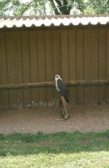 White-bellied sea eagle (SteveInLeighton's Photos) Tags: transparency england gloucestershire agfachrome 1981 may newent falconry eagle