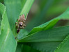 Easy Catch (Michael.Nutt1) Tags: spider prey insect small macro toking nikon d7100 grass nature