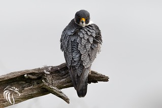 Peregrine Falcons of Alpine | 2107 - 9