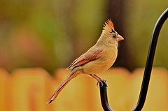 Northern Cardinal - female (deanrr) Tags: backyardbird cardinal female northerncardinal 2016 morgancountyalabama wildlife outdoor winter bokeh fence feathers nature rain alabama