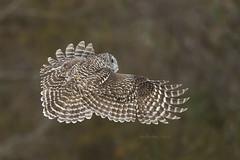 BARRED OWL (AIR BUS) Tags: barredowl owls raptors birdsofprey birdsinflight d4 avian nature wildlife alexborbely