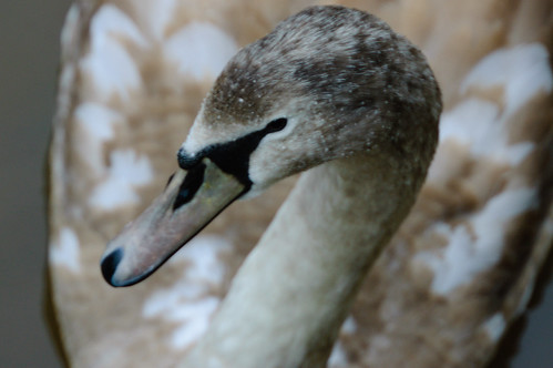 Juvenile swan in Severn, Bridgnorth