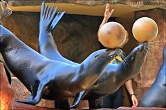 Loro Parque (Mantrize) Tags: loroparque loropark tenerife teneriffa puertodelacruzdetenerife delfines dolphins delfini delfiner dolfijnen golfinhos orca killerwhale keto tekoa kohana skyla morgan adan marinemammals mamíferosmarinos cetáceos cetacean sealions leonesmarinos leonesmarinoscalifornianos californiansealions pinnipedos pinnipeds orcinusorca tursiopstruncatus zalophuscalifornianus