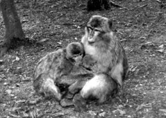 Singe-h (jeanraoulb) Tags: animaux kintzheim singe