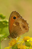 Pyronia tithonus (henk.wallays) Tags: aaaa arthropoda amaryllis buskgräsfjäril buskrandøje butterfly edelfalter falter gatekeeper henkwallays insect keltahäränsilmä kollakashärjasilmik lepidoptera lobitoagreste mariposa nature nymphalidae oranjezandoogje pironiya przestrojniktitonus pyronia pyroniatithonus rotbraunesochsenauge schmetterlinge tagfalter tüzesmanóka vlinders zandoogjes butterflies closeup dagvlinder insecta insecte insekt lepidoptere macro natuur papillon skubvlerkiges sommerfugl vlinder wildlife ô·tia̍p πεταλούδα дневнитепеперуди лускакрылыя тәңкәҡанатлылар күбәләктәр матылі