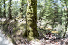 Passing tree (Ian@NZFlickr) Tags: fisheye walking intentional movement blur panning around tree nonphotoshop queenstown nz lotr ent