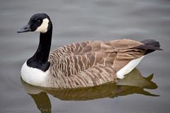 Canadian Geese (Paul Shobrook) Tags: ruffordpark uk wildlife geese lake