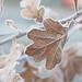 Frozen Oak Leaves (Jacqueline138Kelly) Tags: jacquelinekelly nikon d5200 18250macro frosty frozen nature cold wintery winter field