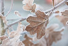 Frozen Oak Leaves - coldly explored! (Jacqueline138Kelly) Tags: jacquelinekelly nikon d5200 18250macro frosty frozen nature cold wintery winter field