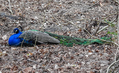 Tail Exhaustion (Gabriel FW Koch) Tags: blue green eyes tailfeathers peacock outside leaves forest tree nikon p900 animal bird