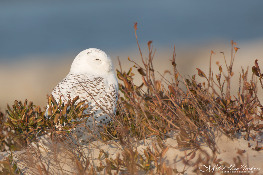 Sleepy Time (Snowy Owl)