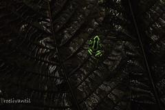 Gouden gifkikker/Green spotted poison dart frog (Dendrobates auratus) (roelivtil) Tags: 7dwf lowkey greenspottedpoisondartfrog goudengifkikker dendrobatusauratus costarica tropischregenwoud tropicalrainforest jungle