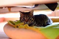 Tina (Andrea.Piccioli) Tags: gatto tigrato fuji fujinon xf3514 xm1 cat